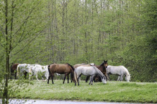 Lâcher des chevaux